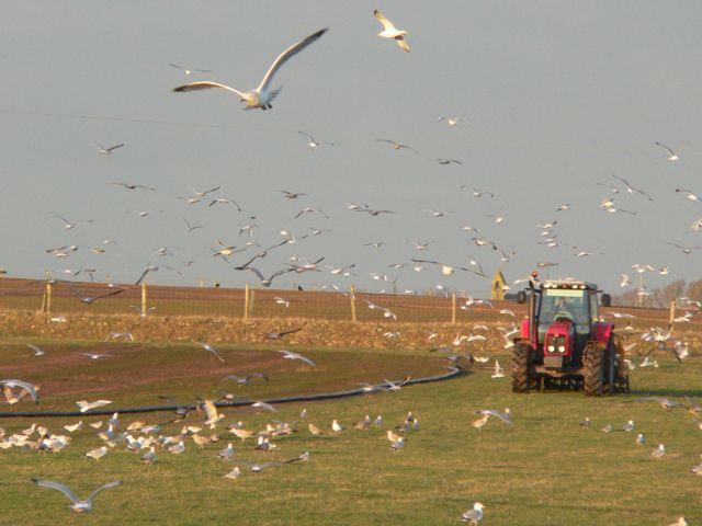 Seagulls having a feast!