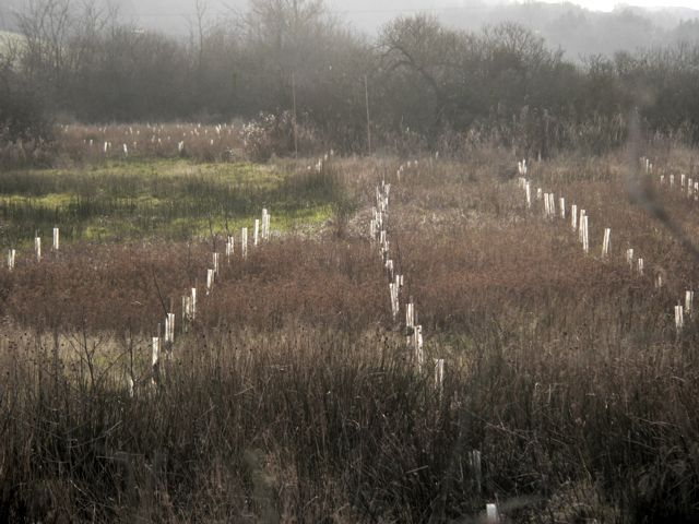 Freshly Planted Woodland, near Llangaffo.
