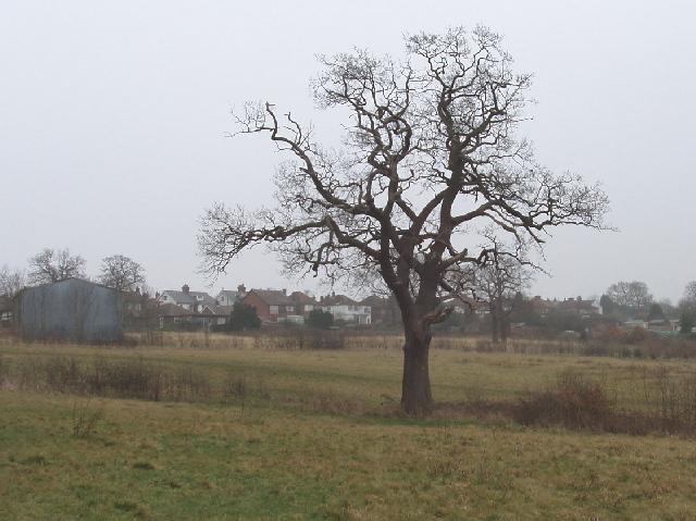 Oak tree, Merry Hill, Bushey