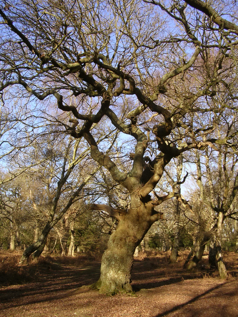 Twisted oak in Matley Wood, New Forest