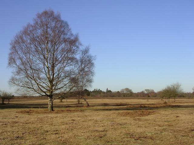 Silver birch on Matley Heath, New Forest