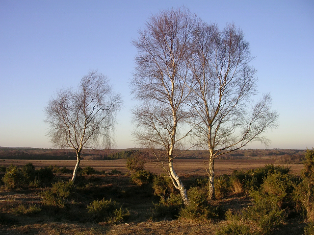 Silver birch on Matley Ridge, New Forest