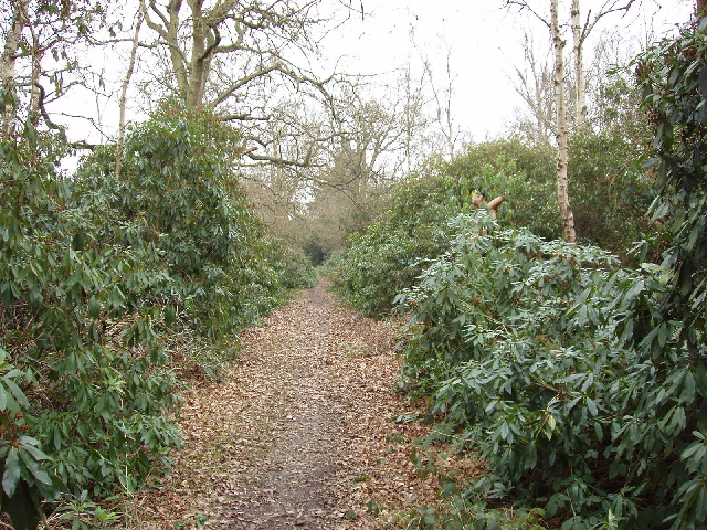 Rhododendron Walk in Oxhey Woods