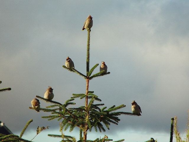 Waxwings in tree at Gardentown, Whalsay