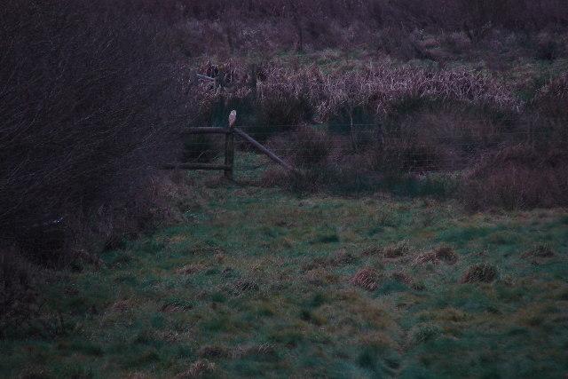 Barn owl on footpath near Pond Bay