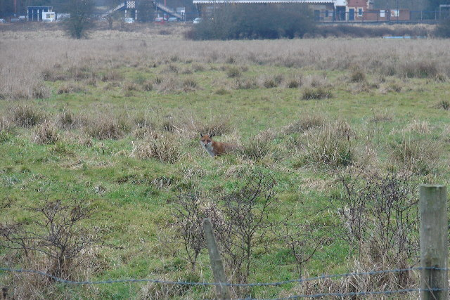Fox in sight of Etchingham railway station