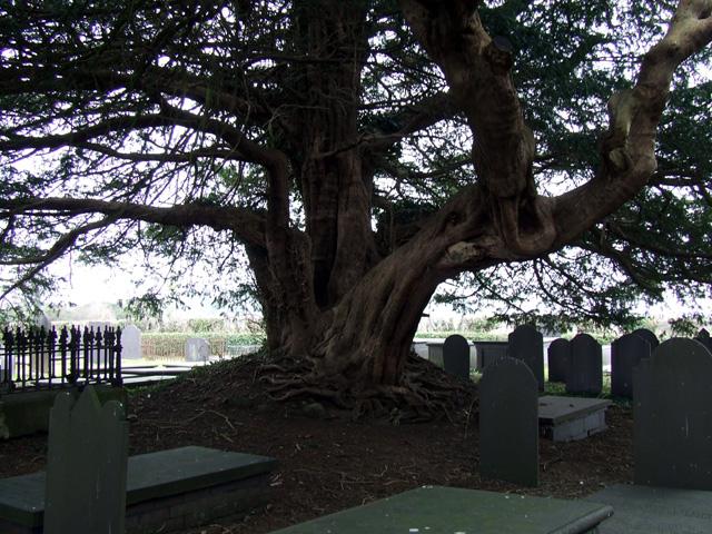 Tree in St Deiniol's churchyard