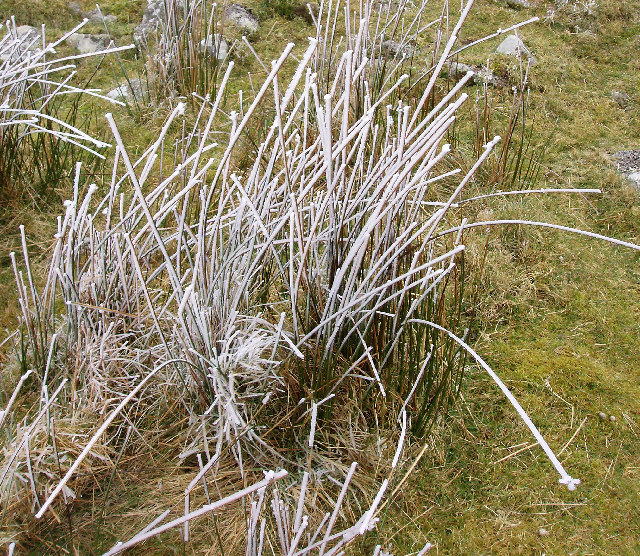 Frozen rushes on Rough Tor