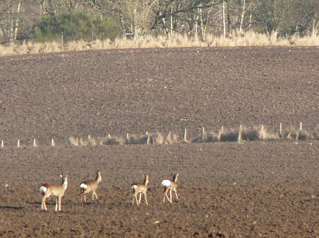 Roe deer in a ploughed field