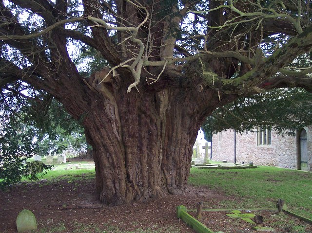 Yew Tree, Stanford Bishop Churchyard