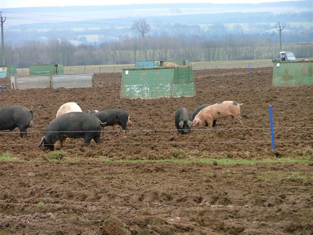 Pig Farming, Cold Kirby Lane