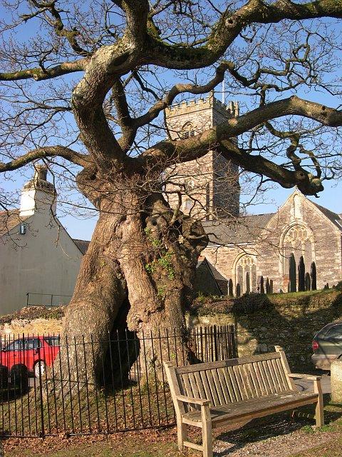 The Meavy Oak