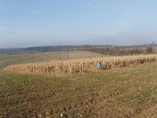 Maize left standing as game bird cover, Flackwell Heath