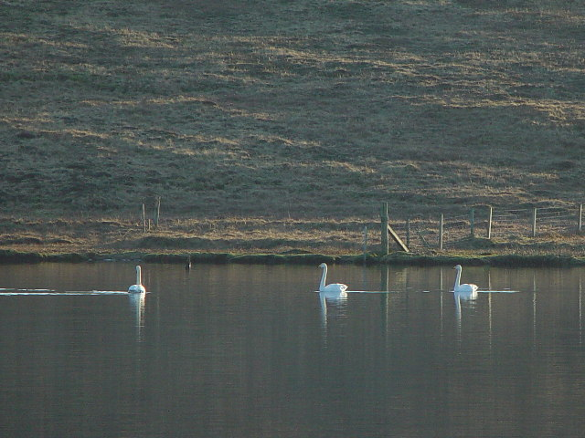 Swans on East Loch of Skaw, Whalsay, Shetland
