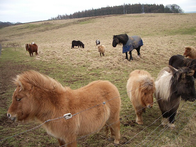 Ponies on Pans Hill