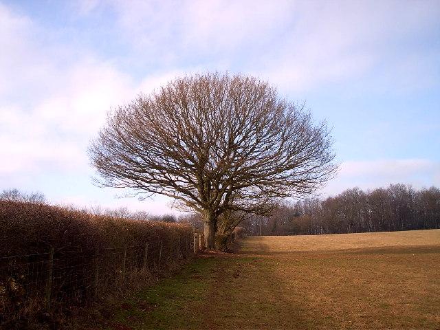 Hedgerow oak tree above Catsash