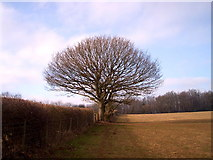 ST3892 : Hedgerow oak tree above Catsash by nantcoly