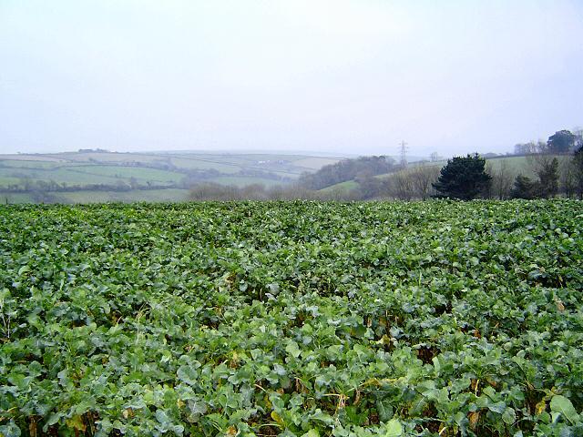Cabbage field near Kingsbridge - south Devon