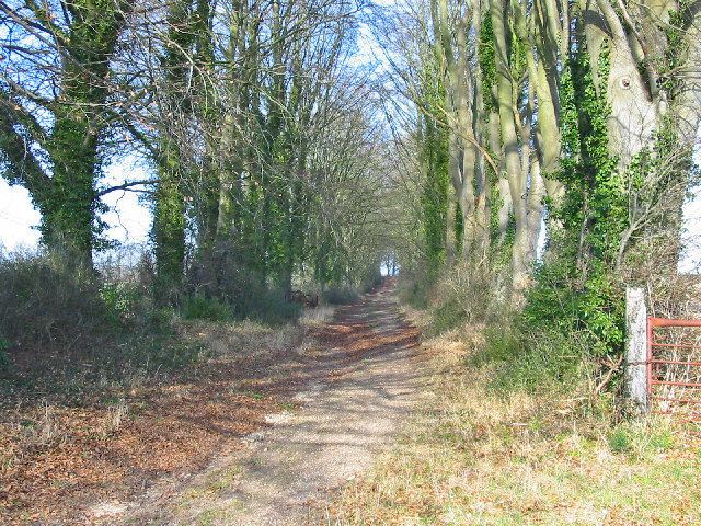 Beech avenue on the track to Knoll Farm