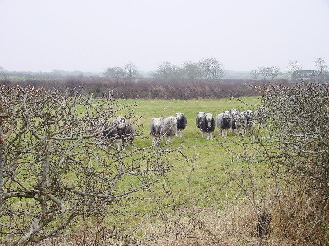 Sheep in Farmland