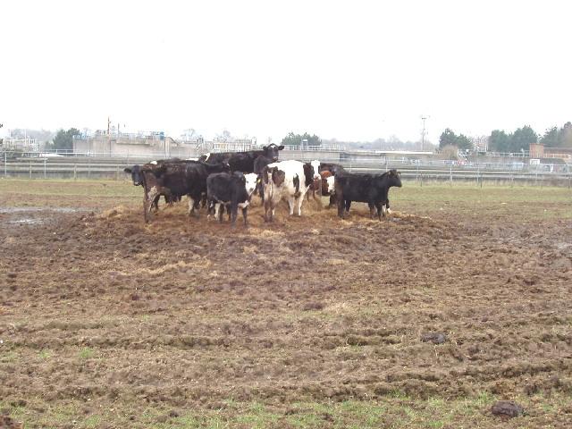 Cattle at Blackbirds Farm, Radlett