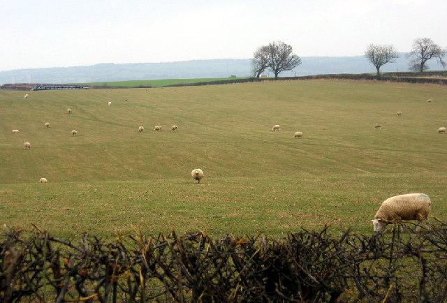 Field and sheep, beside Birkland Lane