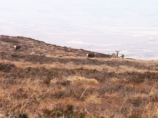 Six hinds on moorland