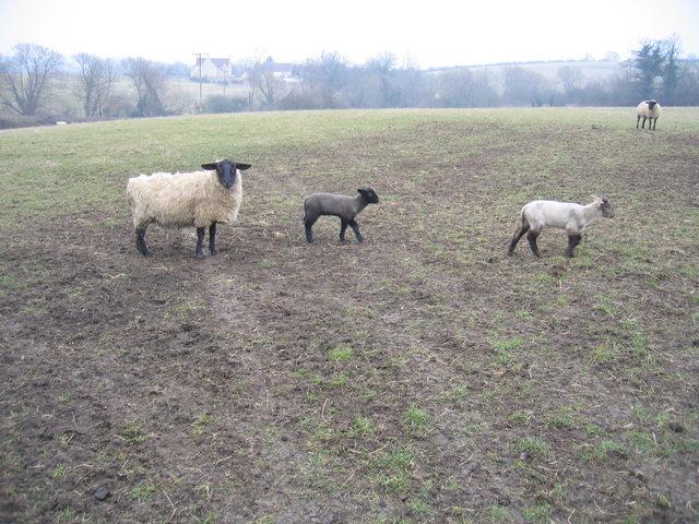 Sheep and lambs near Fossebury
