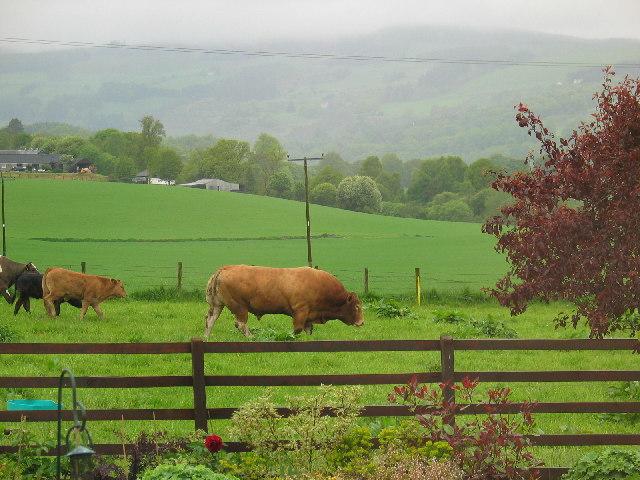 Grazing livestock Balnaguard near Pitlochry.