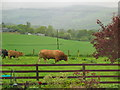 NN9451 : Grazing livestock Balnaguard near Pitlochry. by Johnny Durnan