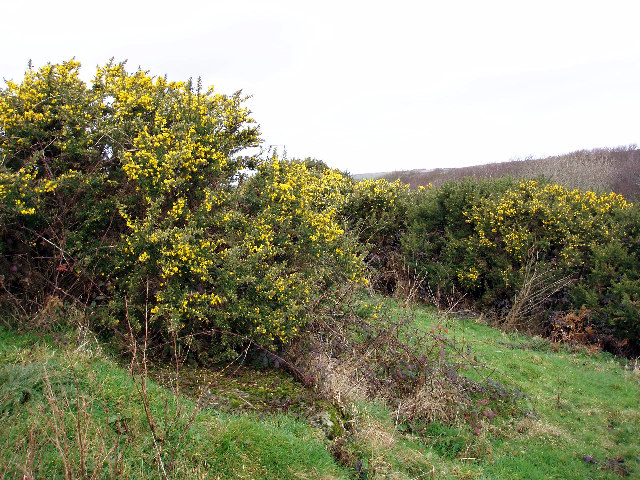 Gorse in Rosemorran Valley