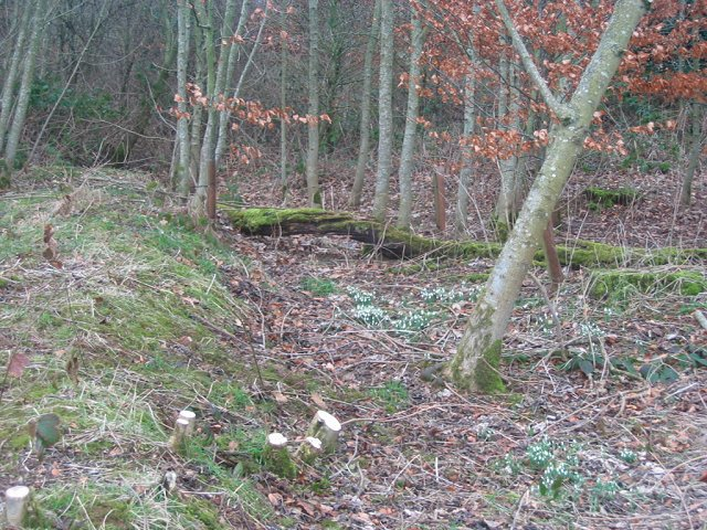 Snowdrops, Cothill