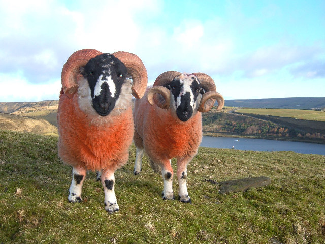Orange woollies above Cowm Reservoir