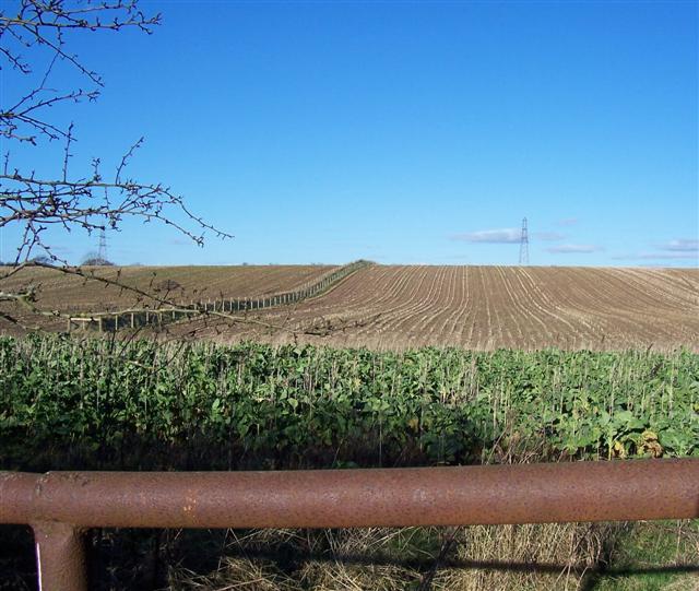 Kale crop.