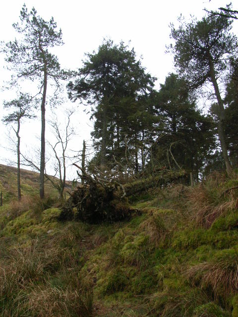 Old plantation next to Coal Cleugh