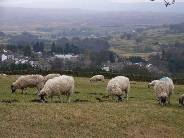 Sheep above Alston