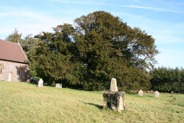 Ashbrittle: the Ashbrittle Yew