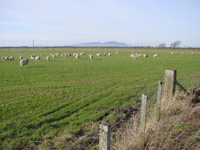Sheep Grazing, Peluthro