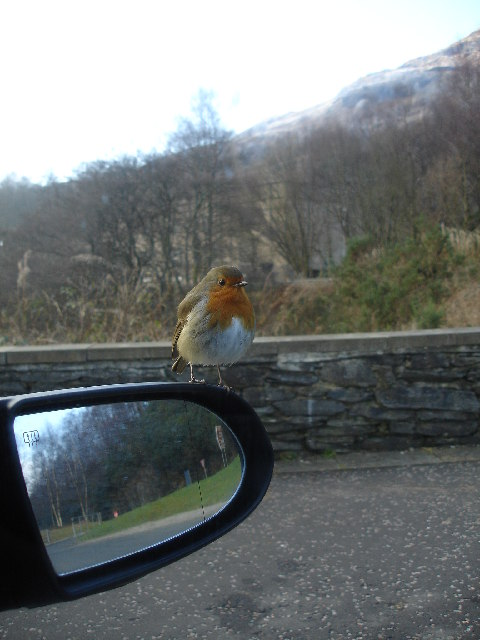 A friendly Robin perched on our wing mirror.