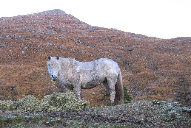 Highland Pony.