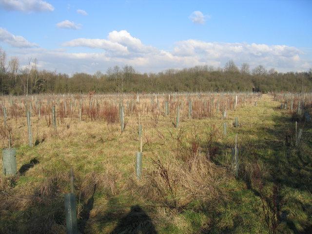 Plantation at Coombe Farm