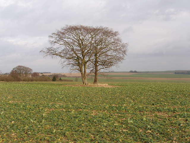 Trees in crops, East Codford Down
