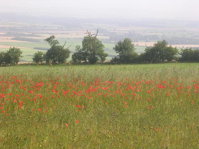 Poppies in cornfield, East Heslerton Wold