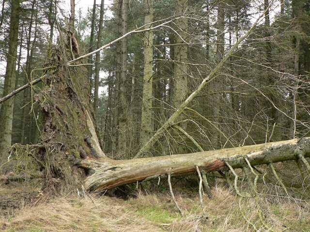 Fallen tree, Pitmedden Forest
