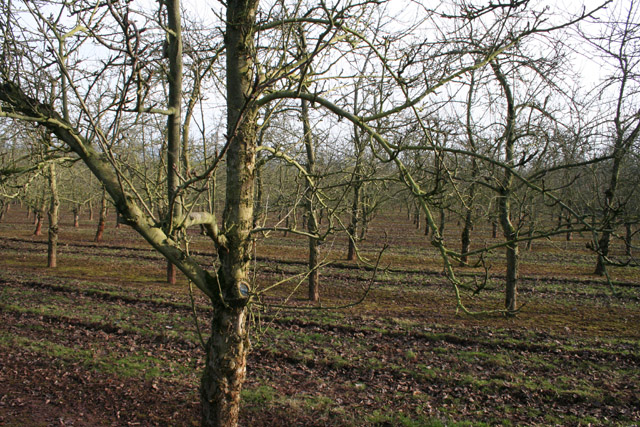 Milverton: orchard near Olands