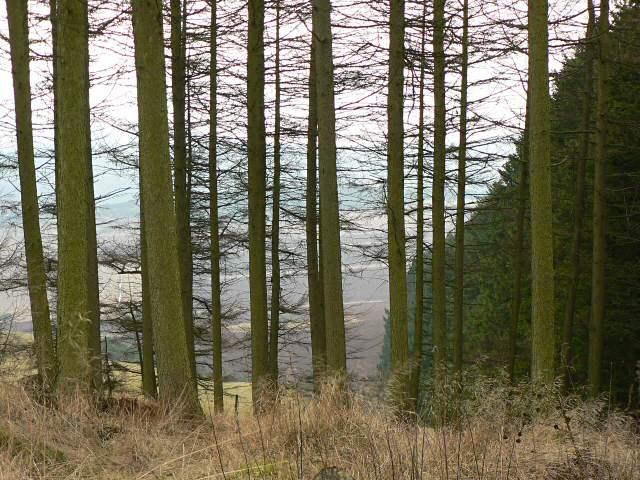 Larches, Pitmedden Forest