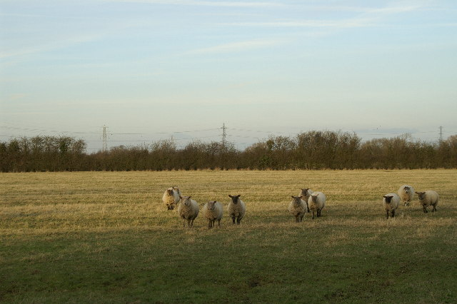 Field of Sheep on Puriton Level
