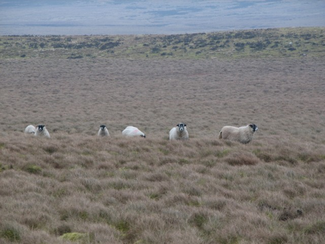 Sheep on Twin Laws