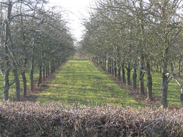 Cider Apple Orchard in winter, Little Tarrington