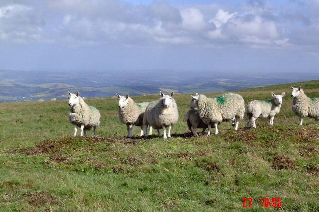 Sheep on Holne Ridge - Dartmoor